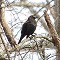 Rusty Blackbird (16972658329).jpg