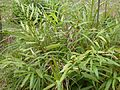 Sa nhân (Amomum villosum).JPG
