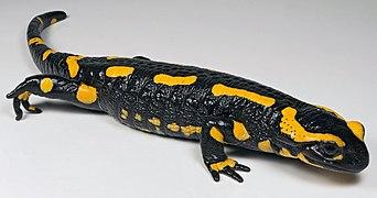 Salamandra salamandra MHNT 1 (cropped).jpg