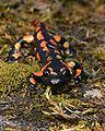 Salamandra salamandra Saarland 013.jpg
