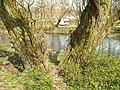 Salix alba 003.jpg