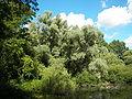 Salix alba 021.jpg