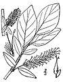 Salix barclayi.jpg