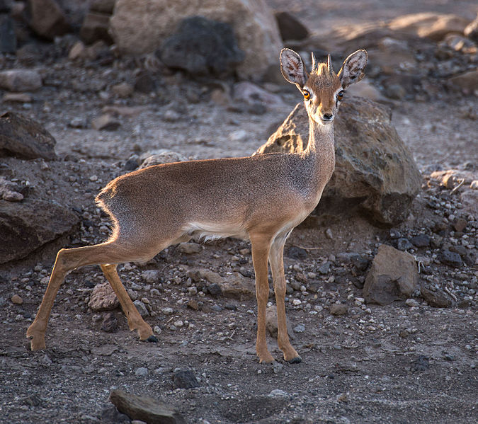 File:Salts dik-dik.jpg