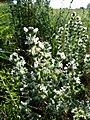 Salvia aethiopis sl19.jpg
