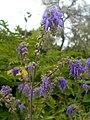 Salvia nutans 2016-05-31 2023.jpg