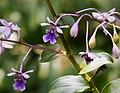 San Jose Orchid Epidendrum pseudoschumannianum - Flickr - gailhampshire (2).jpg