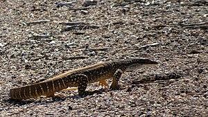 Sand goanna - Gould's monitor or sand goanna in Mungo National Park, New South Wales, Australia