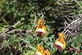Sand Ladys Slipper (Calceolaria uniflora) (5463774433).jpg