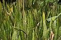 Sansevieria trifasciata 20zz.jpg
