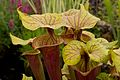 Sarracenia at Tatton Park Flower Show 1.jpg