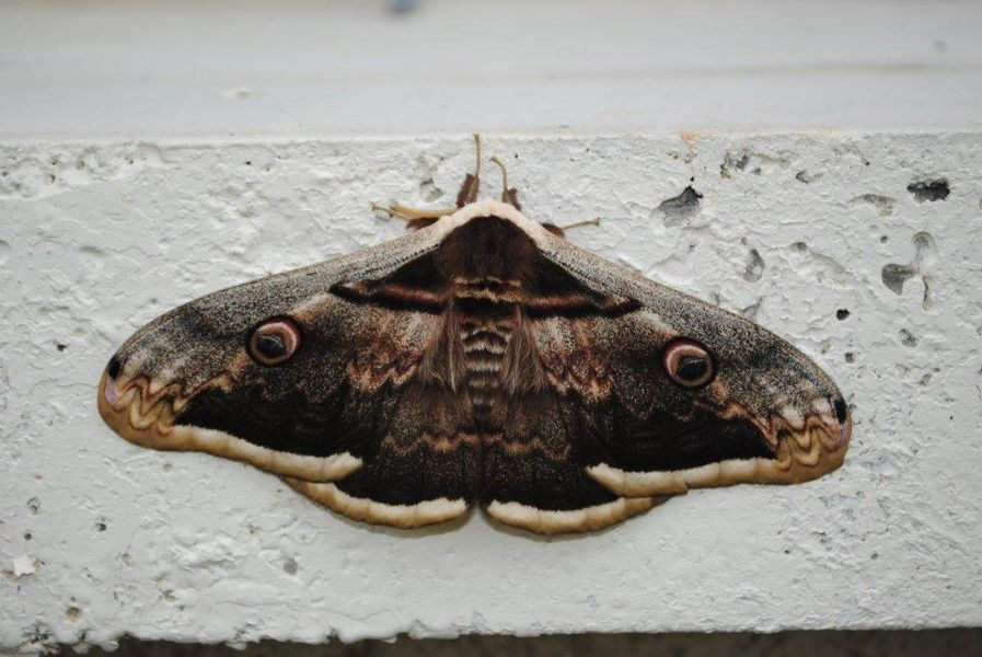A male of the Giant Peacock Moth, Saturnia pyri, photographed in the hameau Soulier near the French village of Puyjourdes, departement de Lot