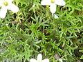 Saxifraga trifurcata 'Schrad.' (Saxifragaceae) leaves.JPG