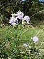 Scabiosa canescens sl6.jpg