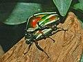 Scarabaeidae - Dicronorrhina derbyana.JPG