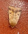 Scarce Bordered Straw. Helicoverpa armigera - Flickr - gailhampshire.jpg
