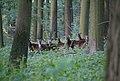 Schlangen - 2014-07-31 - Hohlestein, Ovis orientalis musimon (02).jpg