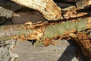 Poškodenia konárov podkôrnikom dubovým