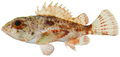 Scorpaena inermis - pone.0010676.g042.png