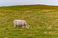 Scottish Blackfaced Sheep St Mary Cape Newfoundland (41321318852).jpg