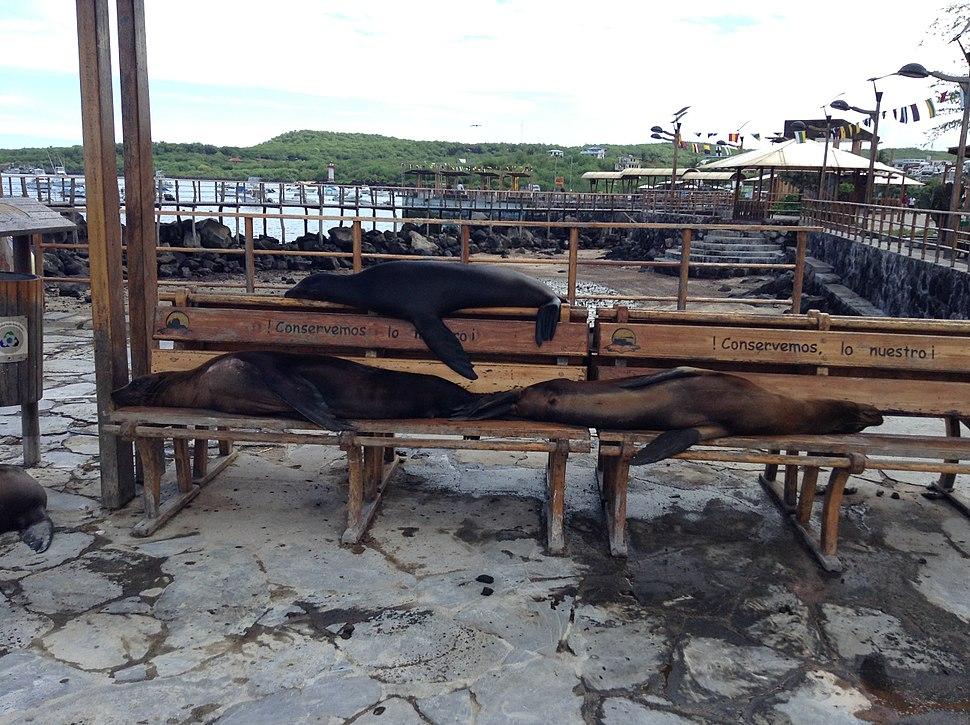 Sea lions on town bench in Puerto Baquerizo Moreno, Galapagos Islands