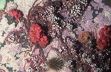 Sea strawberry, Gersemia rubiformis, a soft coral in Newfoundland, Canada (21391129845).jpg