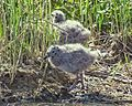 Seagull Chicks IMG 2576.jpg