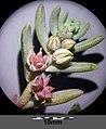 Sedum hispanicum sl7.jpg