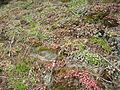 Sedum spathulifolium (3).jpg