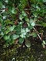 Sedum spathulifolium 37595.JPG