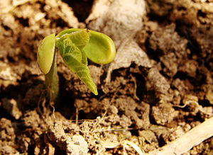 Seedling - Image: Seedling 477