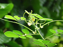 Senna obtusifolia with flower and pods.jpg