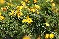 Senna polyphylla 24zz.jpg