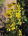 Senna siamea leaves and flowers 02.jpg