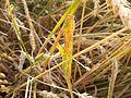 Septorioza liści pszenicy.JPG