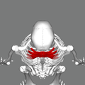 Serratus posterior superior muscle top.png
