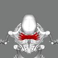 Serratus posterior superior muscle top.png