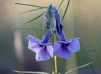 Sesamum - Image: Sesamum triphyllum