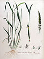 Setaria verticillata — Flora Batava — Volume v11.jpg