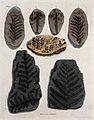 Seven different fossilised remains of plants in schistose st Wellcome V0023183ER.jpg