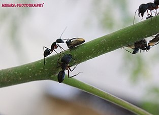 Several ants on a branch.jpg