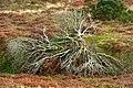 Shattered tree - geograph.org.uk - 1086471.jpg