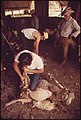 Sheep Being Sheared on a Ranch in the Leakey, Texas, Area near San Antonio 05-1973 (3703576203).jpg