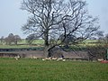 Sheep and lambs near Moss Hall Farm - geograph.org.uk - 394193.jpg