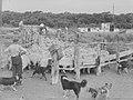 Sheep in a pen (AM 88027-1).jpg