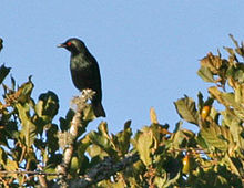 Short-tailed Starling (Aplonis minor) (8074126560) (cropped).jpg