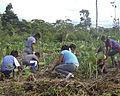 Shuar cultivate Xanthosoma.JPG