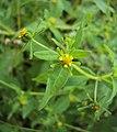 Sigesbeckia orientalis 11.JPG