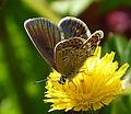 Silver-studded Blue. Female. Plebejus argus. u.s (16037358467).jpg