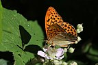 Silver-washed fritillary butterfly (Argynnis paphia) male 3.jpg